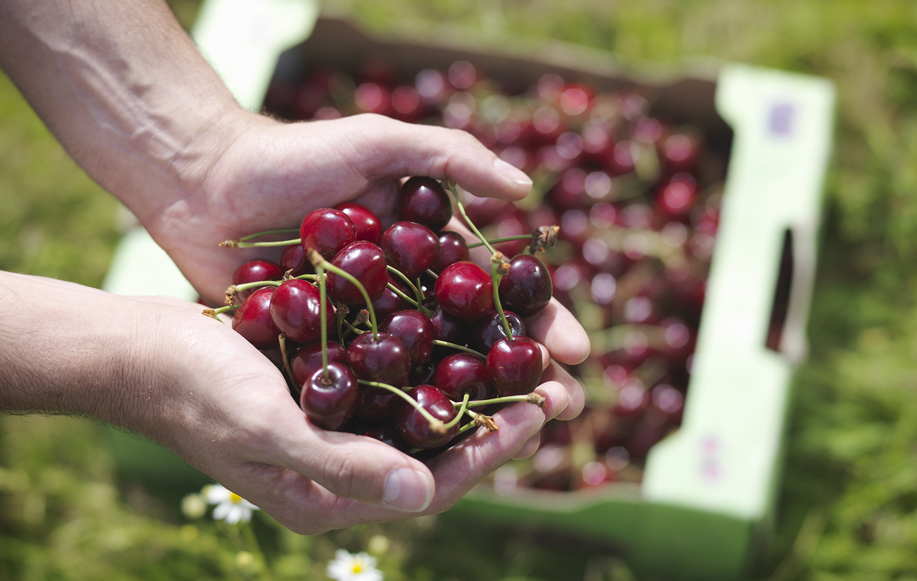 Man hands holding a bunch of cherries and a box of cherries behind