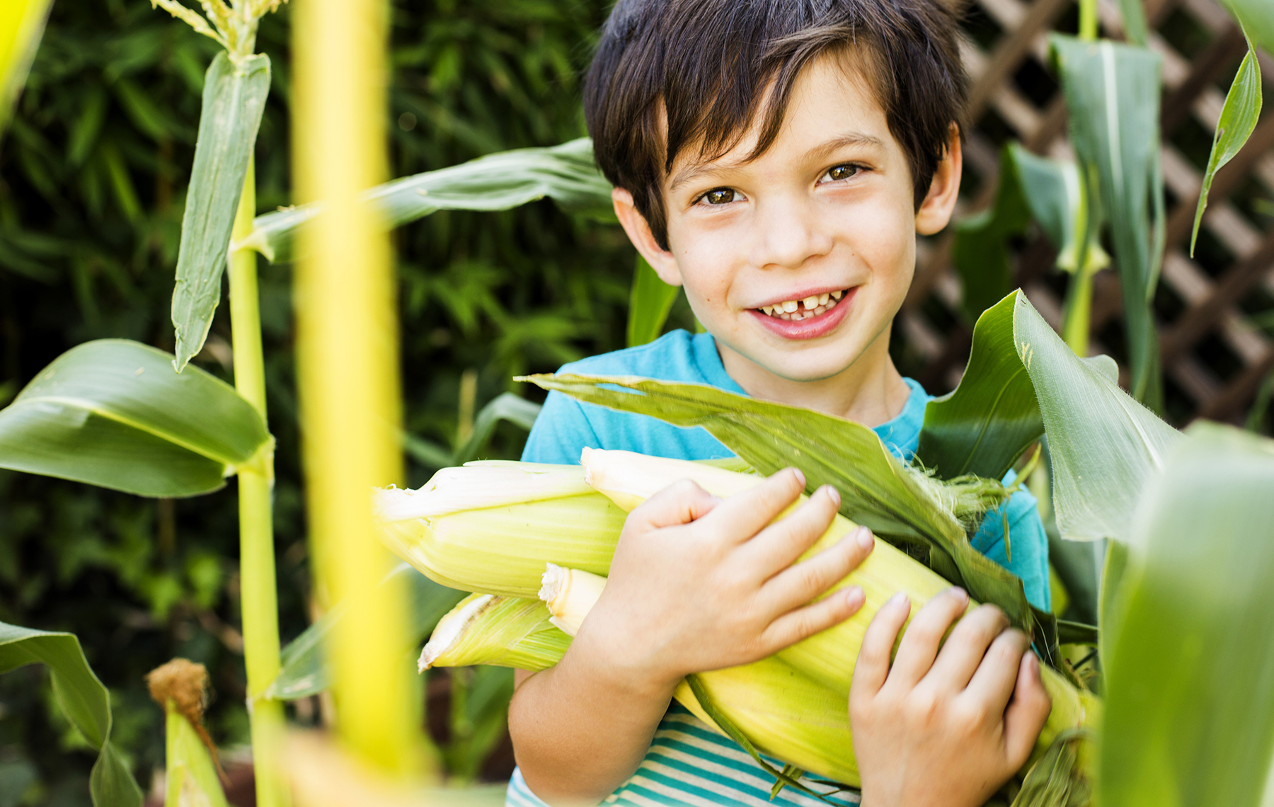 Boy in a cornfield holding a bunch of corns