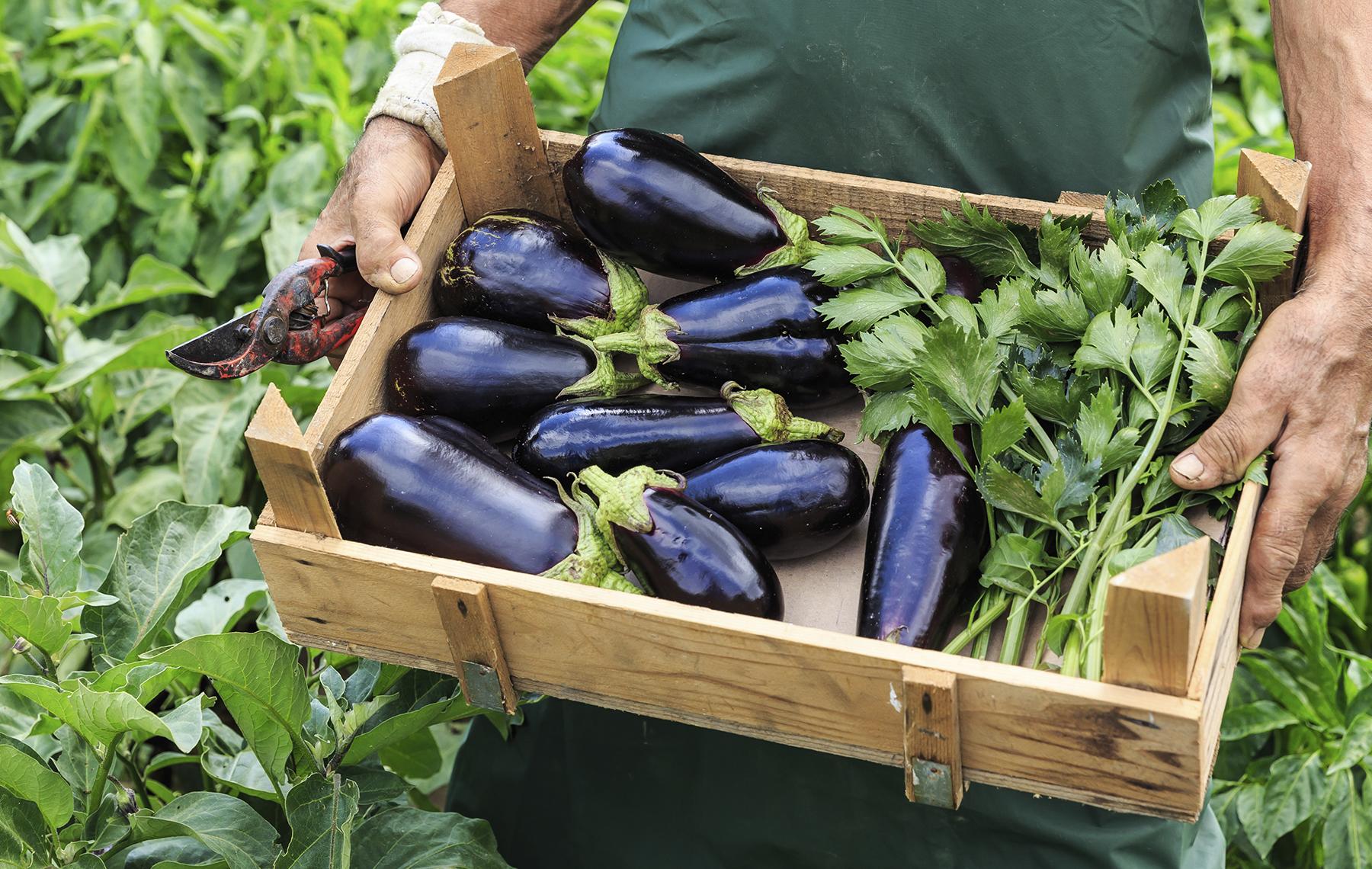 Farmer holding a wood box full with eggplants